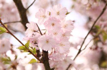 sakura-hanami-shonan