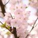 湘南の花見スポット。3箇所に絞るならココ!